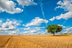 Фото бесплатно поле, колосья, дерево