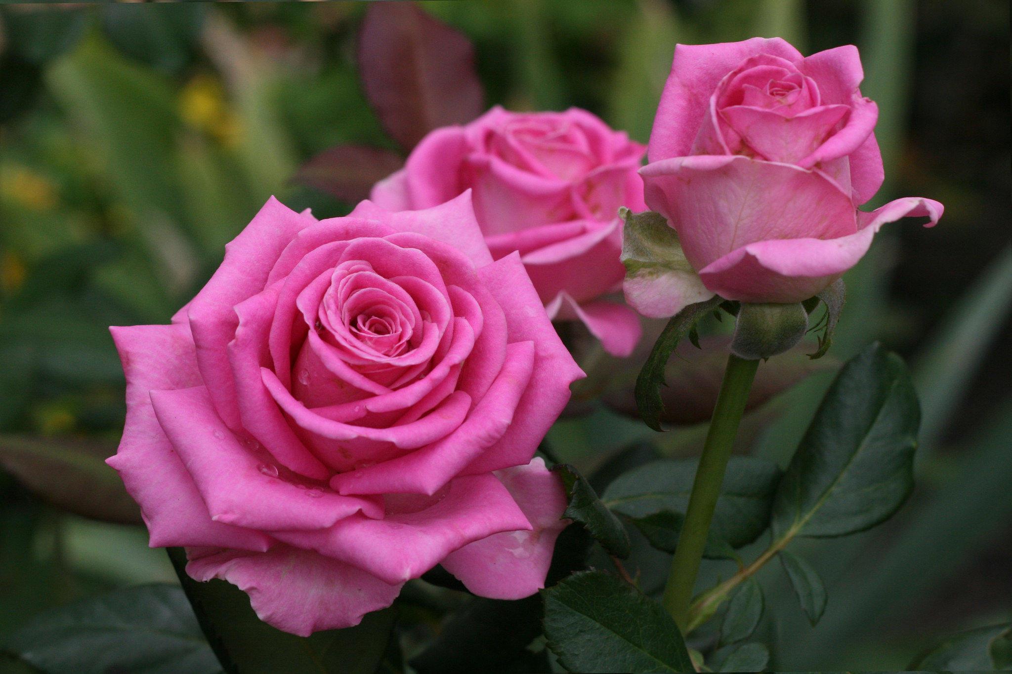 Большие картинки на рабочий стол красивые розы 14