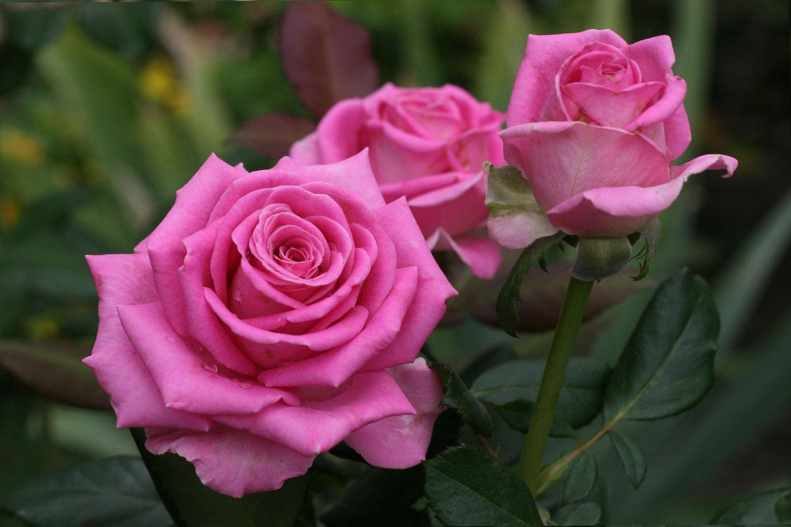 Фото бесплатно цветы, роза, розы, флора, цветы