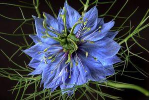 Фото бесплатно Nigella, цветок, цветы, чёрный фон, флора