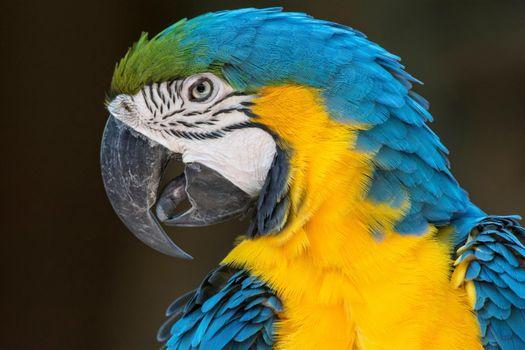 Бесплатные фото СИНЕ-ЖЕЛТЫЙ АРА,Blue and Yellow McCaw,попугай