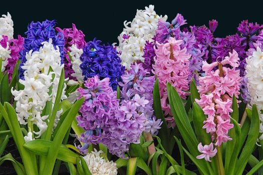 Photo free Hyacinths, flowers, multicolored