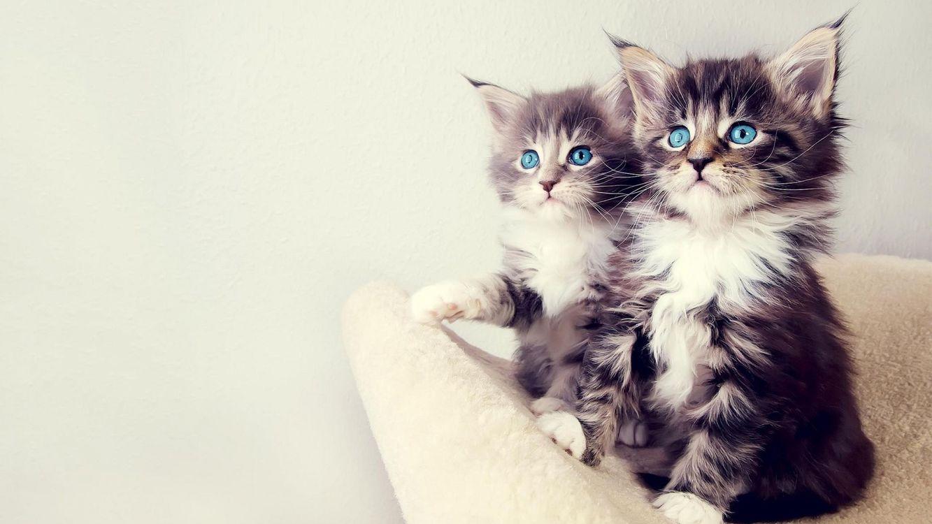 Фото бесплатно котята, голубые глаза, мило - на рабочий стол