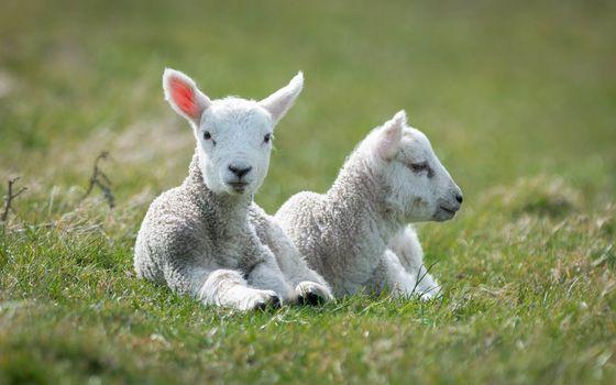 Photo free sheep, cute, grass