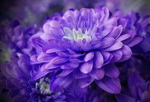 Фото бесплатно георгин, георгины, красивый