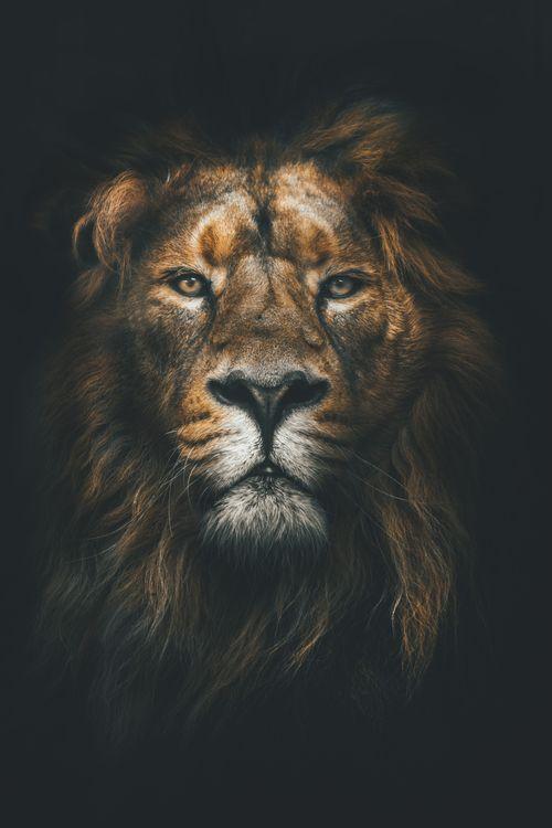 Фото бесплатно лев, дикая природа, природа, лицо, кошки