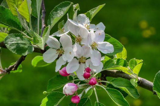 Photo free Apple tree, flowering, flora