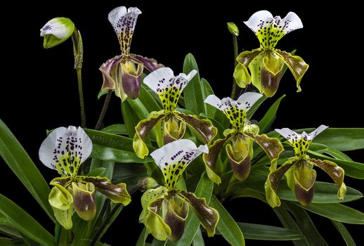 Photo free Paphiopedilum, American Hybrid, flower