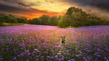 Бесплатные фото закат, поле, цветы, деревья, лаванда, собака, пейзаж