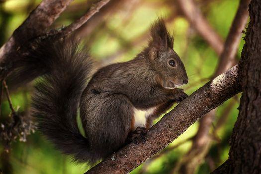 Photo free animals, fluffy tail, squirrel