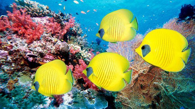 Photo free yellow fish, coral, fish