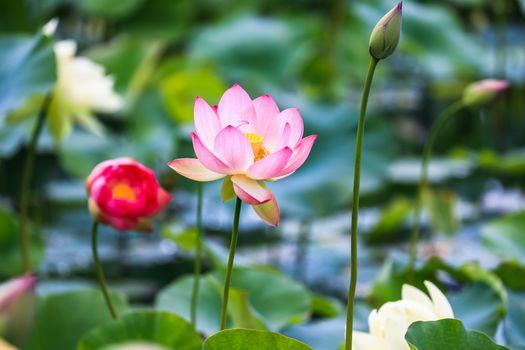 Фото бесплатно лотос, флора, пруд