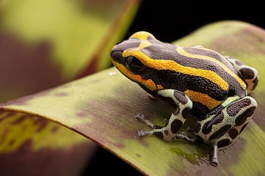 Photo free poison dart frog, leaf, macro