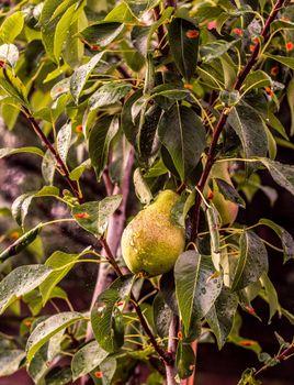 груша, дерево, ветви, капли, pear