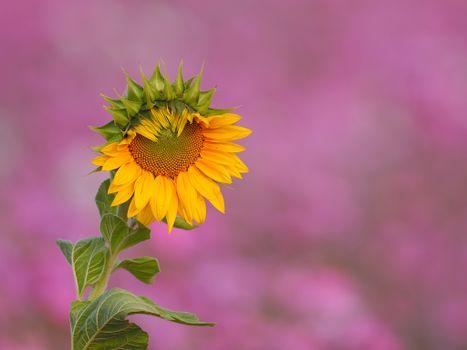 подсолнух,цветок,флора