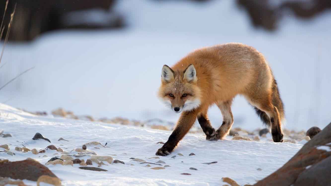 Фото бесплатно лиса хищник ходить - на рабочий стол