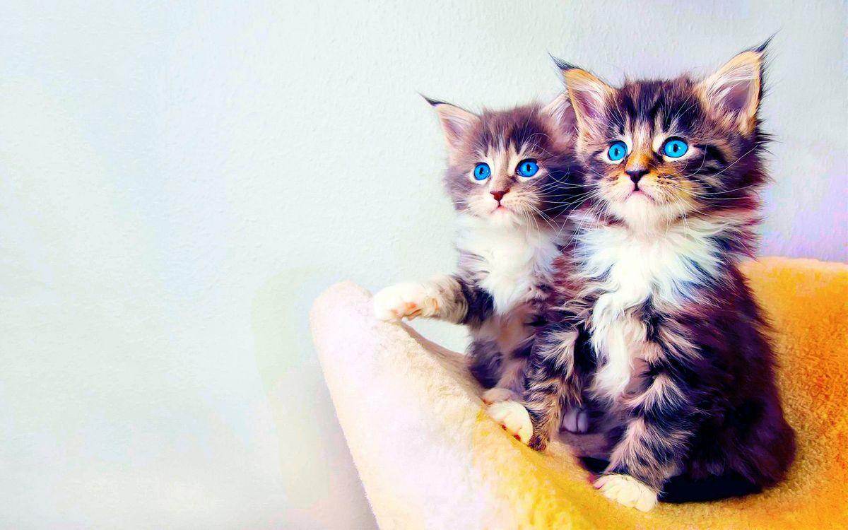 Фото бесплатно кошки, котята, голубые глаза - на рабочий стол