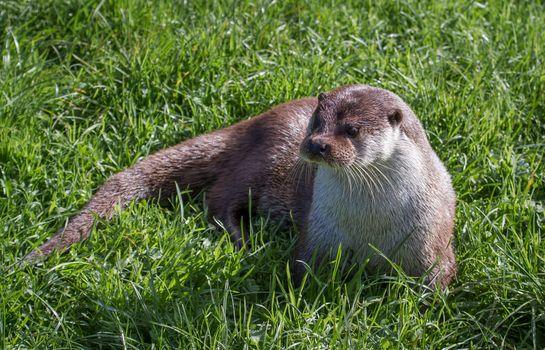 Фото бесплатно выдра, трава, животное
