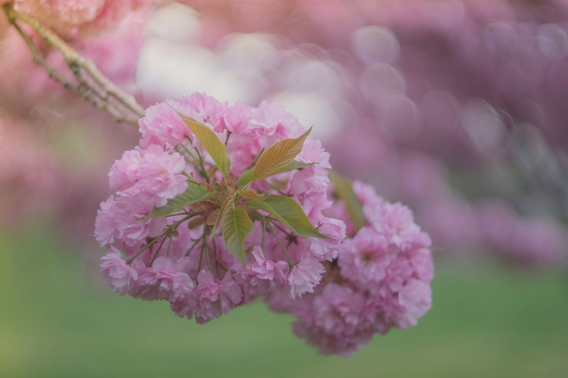 Free photo Beautiful blossom, flower branch, blooming - to desktop