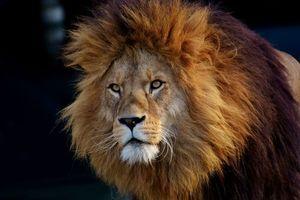 Бесплатные фото лев,хищник,морда,lion,predator,muzzle