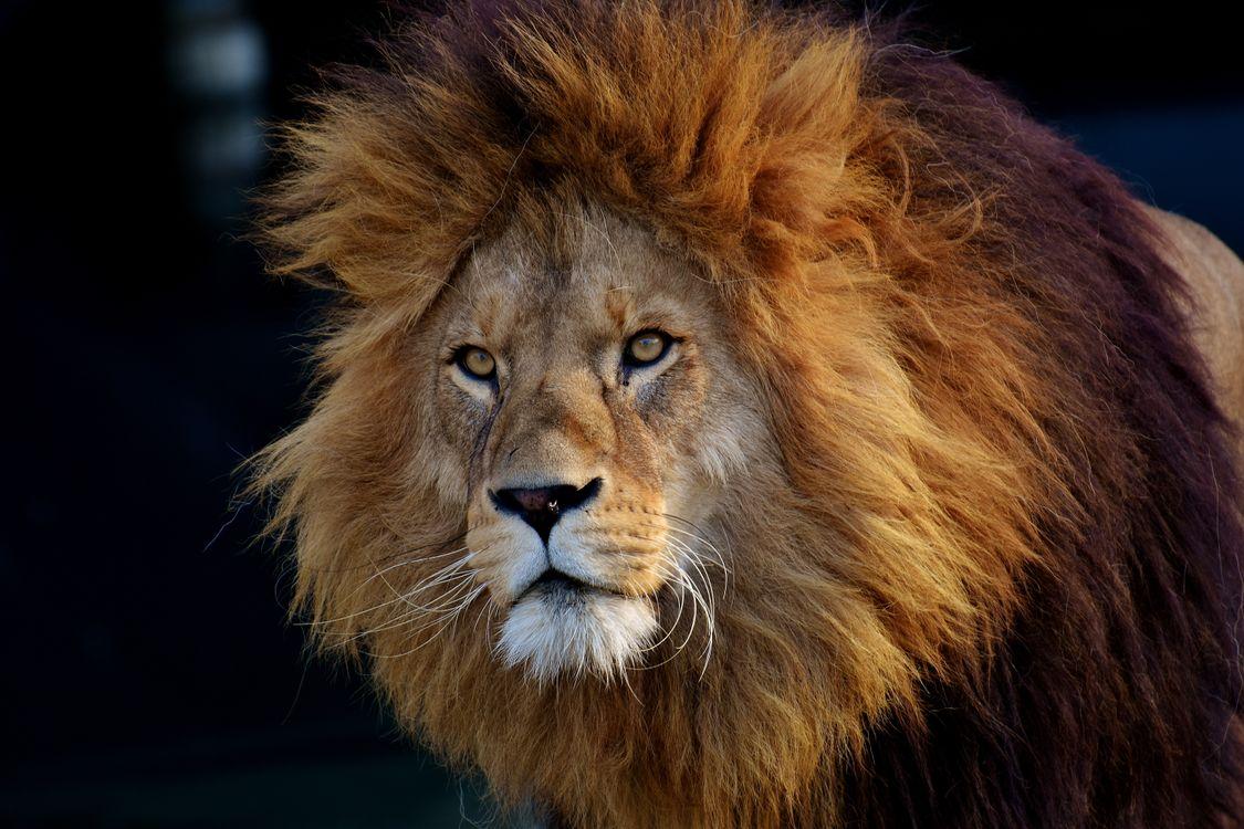 Фото бесплатно лев, хищник, морда, lion, predator, muzzle, животные