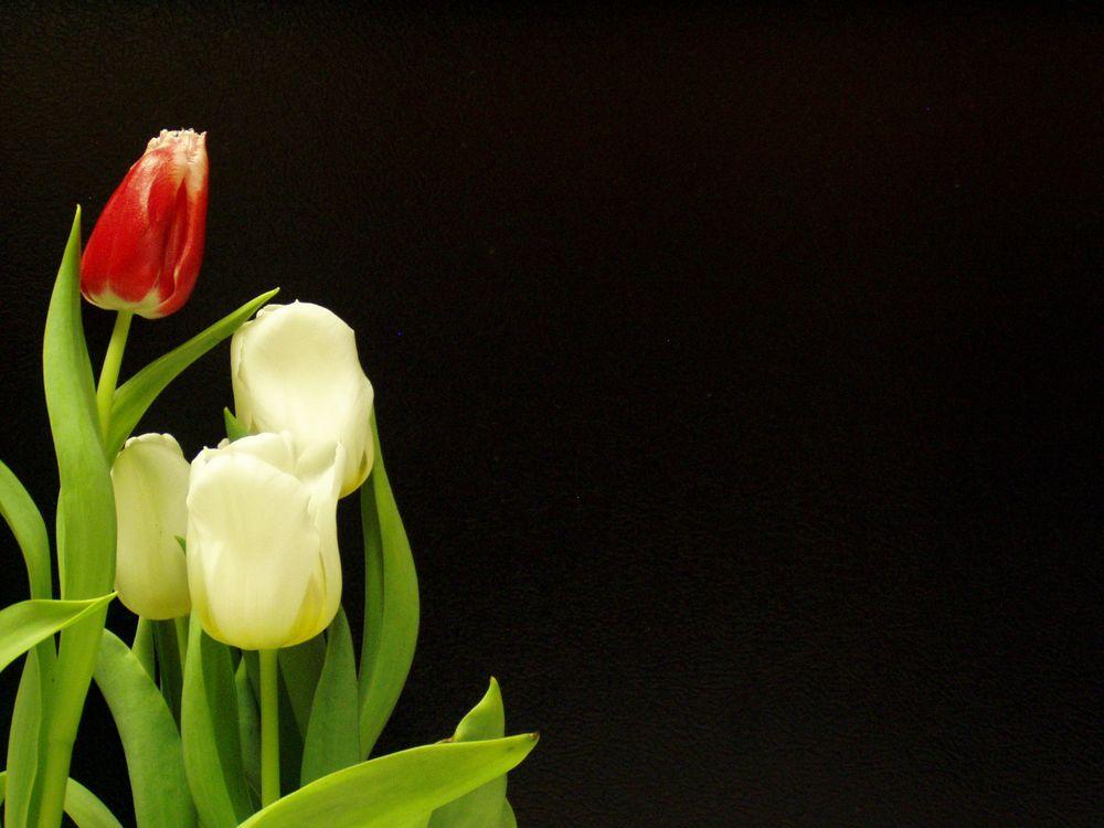 Фото бесплатно тюльпаны, черный, белый - на рабочий стол