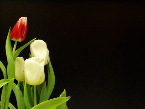 Photo free tulips, black, white
