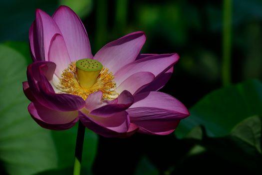 Photo free lotus, beautiful flowers, pond
