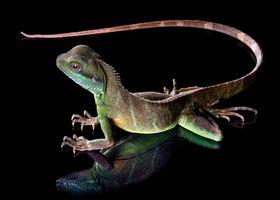 Фото бесплатно животное, ящерица, хвостик