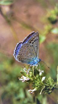 Голубянка аргус. Бабочка. Лето. Бабочка голубого цвета