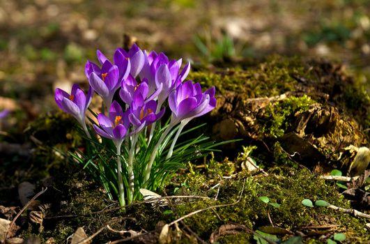 Фото бесплатно цветок, весна, крокусы