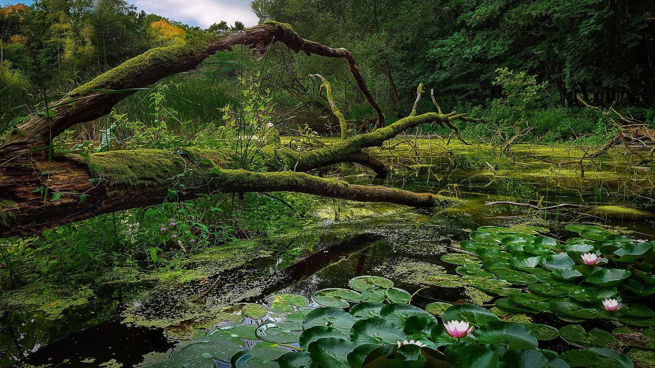 Фото бесплатно водоём, озеро, болото, лес, деревья, цветы, природа, природа - скачать на рабочий стол