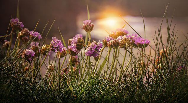 Фото бесплатно пурпурные цветы, поле, размытый фон