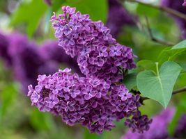 Фото бесплатно сирень, цветущая ветка, цветы