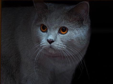 Photo free British Shorthair Cat, muzzle, look