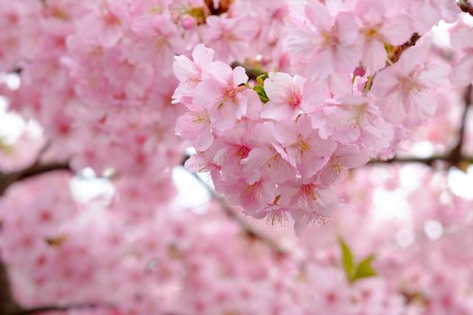 Photo free tree, rose petals, the cherry blossoms