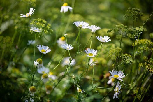 Photo free flowers, chamomile, summer