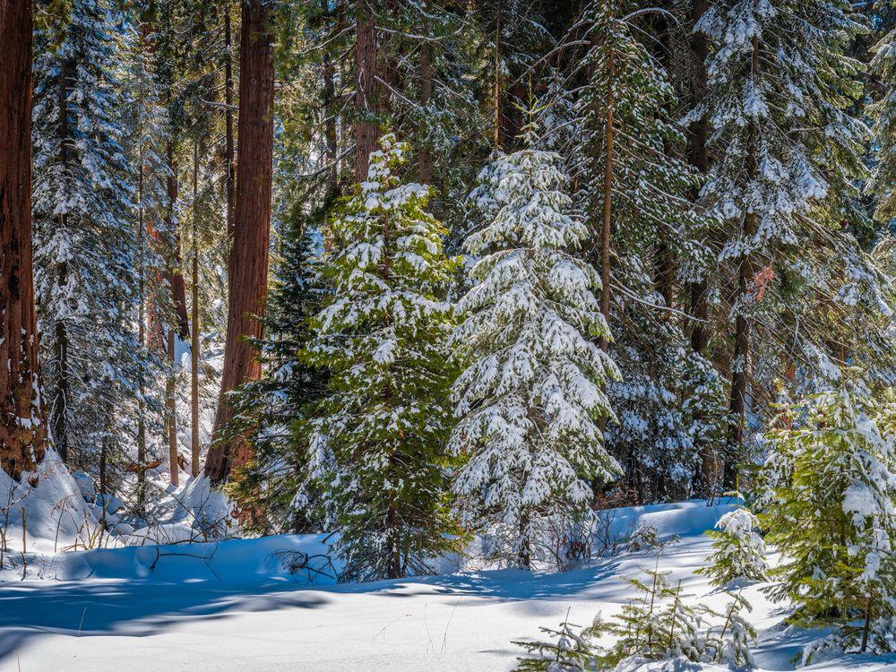 Фото Калифорния лес снежные деревья - бесплатные картинки на Fonwall
