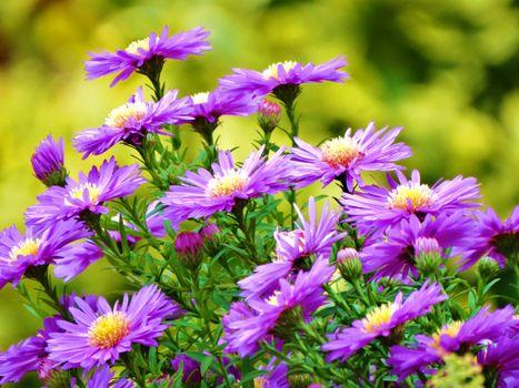 Фото бесплатно Michaelmas Daisy, Aster amellus, цветы