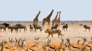 Фото бесплатно Саванна, степь, жирафы