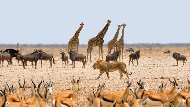 Photo free Savanna, prairie, giraffes