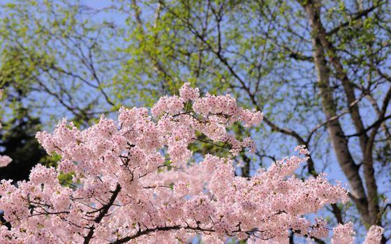 Фото бесплатно цветение сакуры, весна, цветы вишни