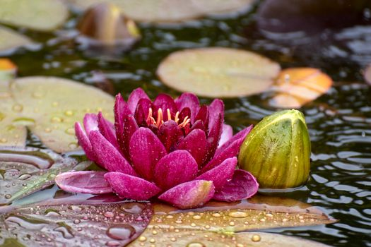 Photo free pond, beautiful flowers, water lilies