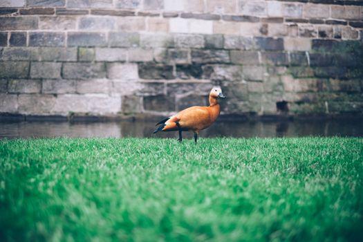 Photo free duck, grass, river