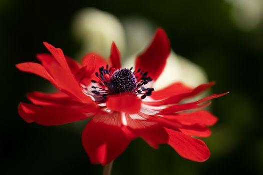 Photo free flower, red, anemone