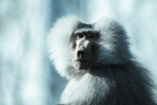 Photo free baboon, animals, close