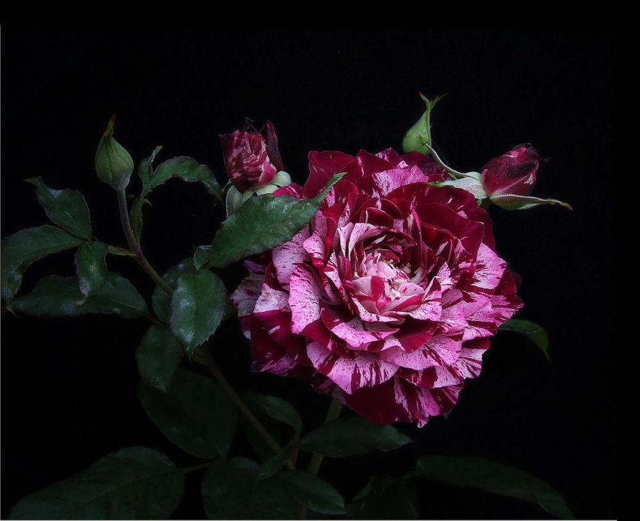 Фото бесплатно цветы, роза, розы - на рабочий стол