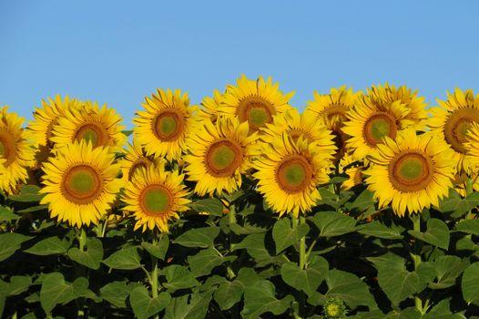 Photo free flowers, many, helianthus