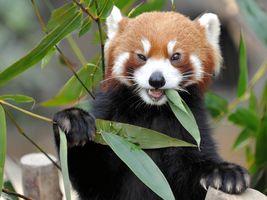 Фото бесплатно есть, красная панда, наземное животное