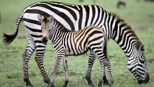 Photo free zebra, baby, grass